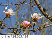Купить «Magnolia tree, blossoms, detail, tree, magnolias, blossom, pink, medium close-up, palm garden, season, spring. Spring, magnolia, magnolia blossoms, blossoming of a tree, buds,», фото № 24663124, снято 15 июня 2012 г. (c) mauritius images / Фотобанк Лори