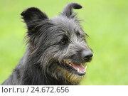 Купить «Dog, portrait, side view,», фото № 24672656, снято 20 сентября 2018 г. (c) mauritius images / Фотобанк Лори