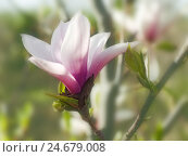 Купить «Tulip magnolia, Magnolia soulangeana, blossom, medium close-up,», фото № 24679008, снято 18 августа 2018 г. (c) mauritius images / Фотобанк Лори
