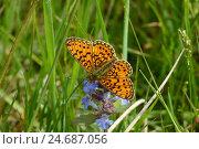 Купить «Marsh meadows-mother-of-pearl butterfly, Boloria Selene, sucks nectar at Gundermann,», фото № 24687056, снято 23 января 2013 г. (c) mauritius images / Фотобанк Лори