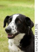 Купить «Dog, Border collie mongrel, portrait, outside,», фото № 24687376, снято 20 июля 2018 г. (c) mauritius images / Фотобанк Лори