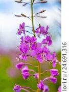 Купить «Ветка цветущего Иван-чая», фото № 24691316, снято 18 июля 2016 г. (c) Александр Цуркан / Фотобанк Лори