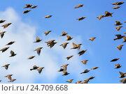 Купить «Стая черных скворцов стремительно летит по голубому небу», фото № 24709668, снято 9 августа 2016 г. (c) Бачкова Наталья / Фотобанк Лори