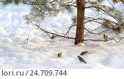 Купить «flock of titmice eating sunflower seeds on snow under a tree», видеоролик № 24709744, снято 16 декабря 2016 г. (c) Володина Ольга / Фотобанк Лори