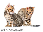 Two beautiful little kitten Bengal on a white background closeup. Стоковое фото, фотограф Константин Лабунский / Фотобанк Лори