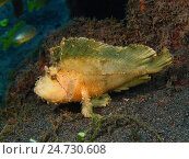 Рыба-лягушка, остров Бали, Пури Джати, Индонезия. Стоковое фото, фотограф Александр Огурцов / Фотобанк Лори