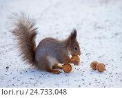 Купить «Рыжая белка на снегу с грецким орехом», фото № 24733048, снято 6 ноября 2016 г. (c) Литвяк Игорь / Фотобанк Лори