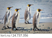 Купить «King penguins, Aptenodytes patagonicus», фото № 24737356, снято 18 сентября 2019 г. (c) age Fotostock / Фотобанк Лори