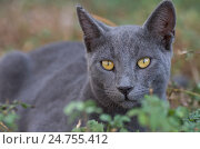 Купить «Серая уличная кошка в траве крупно», фото № 24755412, снято 25 октября 2016 г. (c) Gaft Eugen / Фотобанк Лори