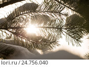 Snow-covered branches of the fir trees in Sunny weather, close-up. Стоковое фото, фотограф Ольга Горд / Фотобанк Лори