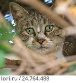 Купить «Уличная кошка в ветвях дерева», фото № 24764488, снято 25 октября 2016 г. (c) Gaft Eugen / Фотобанк Лори