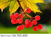 Купить «Ягоды калины красной на солнце», фото № 24765600, снято 18 сентября 2015 г. (c) Зобков Георгий / Фотобанк Лори