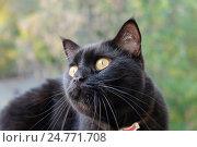 Купить «Черный кот крупным планом», фото № 24771708, снято 27 июля 2016 г. (c) Соловьев Андрей / Фотобанк Лори
