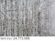 Купить «Зимний вид на березовую рощу», фото № 24773088, снято 25 февраля 2016 г. (c) Николай Винокуров / Фотобанк Лори