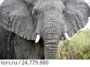 Купить «African elephant (Loxodonta africana) bull in threatening posture. Queen Elizabeth National Park, Uganda.», фото № 24779880, снято 6 октября 2016 г. (c) age Fotostock / Фотобанк Лори