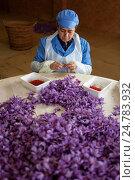 Купить «Women collecting stigmas from saffron crocus flowers. madridejos. spain. Saffron is the stigma of the crocus flower, which originally came from Asia Minor...», фото № 24783932, снято 8 ноября 2016 г. (c) age Fotostock / Фотобанк Лори
