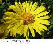 Купить «Дороникум подорожниковый - Doronicum plantagineum», фото № 24795100, снято 28 мая 2016 г. (c) Беляева Наталья / Фотобанк Лори
