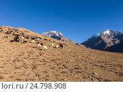 Купить «Стадо коз в Гималаях», фото № 24798908, снято 21 ноября 2016 г. (c) Михаил Пряхин / Фотобанк Лори