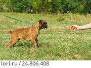 Купить «Молодая собака породы немецкий боксер смотрит на игрушку», фото № 24806408, снято 13 сентября 2015 г. (c) Наталья Гармашева / Фотобанк Лори
