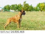 Купить «Молодая собака породы немецкий боксер на поводке в парке», фото № 24806464, снято 13 сентября 2015 г. (c) Наталья Гармашева / Фотобанк Лори