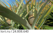 Купить «View of pineapple plants farm in summer season against blue sky, Mauritius Island», видеоролик № 24808640, снято 12 декабря 2016 г. (c) Данил Руденко / Фотобанк Лори