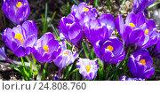Фиолетовые крокусы весной. Стоковое фото, фотограф Виктор Андреев / Фотобанк Лори