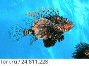 Купить «Красная крылатка (Pterois volitans), Красное море, Египет, Африка», фото № 24811228, снято 10 ноября 2013 г. (c) Некрасов Андрей / Фотобанк Лори