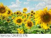 Поле подсолнухов. Стоковое фото, фотограф Ильнар Ханов / Фотобанк Лори