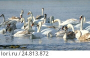 Flock of Swans. Стоковое видео, видеограф Александр Устич / Фотобанк Лори