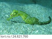 Морской конек (Hippocampus hippocampus), Черное море, Крым. Стоковое фото, фотограф Некрасов Андрей / Фотобанк Лори