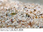 Большой морской дракон (Trachinus draco) Стоковое фото, фотограф Некрасов Андрей / Фотобанк Лори