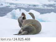 Купить «Тюлень лежит на льду», фото № 24825468, снято 20 ноября 2016 г. (c) Vladimir / Фотобанк Лори
