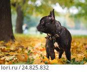 Купить «Черная собака в парке среди осенних листьев», фото № 24825832, снято 22 августа 2019 г. (c) Ирина Козорог / Фотобанк Лори