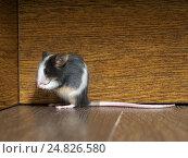 Купить «Серая домашняя мышь сидит на полу», фото № 24826580, снято 14 ноября 2019 г. (c) Ирина Козорог / Фотобанк Лори