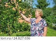 Купить «Пожилая женщина на даче показывает плоды своего труда», фото № 24827036, снято 6 августа 2016 г. (c) Ирина Носова / Фотобанк Лори