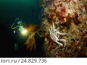 Дайвер и большой Камчатский краб (Paralithodes camtschaticus) (2009 год). Редакционное фото, фотограф Некрасов Андрей / Фотобанк Лори