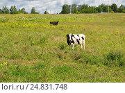 Купить «Коровы пасутся на лугу в сельской местности», эксклюзивное фото № 24831748, снято 9 июля 2016 г. (c) Елена Коромыслова / Фотобанк Лори