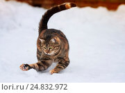 Купить «Смешной игривый полосатый котенок весело бегает по белому снегу», фото № 24832972, снято 4 января 2017 г. (c) Бачкова Наталья / Фотобанк Лори