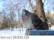 Голубь серый - портрет. Стоковое фото, фотограф Kostin sergey aleksandrovich / Фотобанк Лори