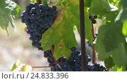 Купить «grape plants with berries», видеоролик № 24833396, снято 2 октября 2016 г. (c) Яков Филимонов / Фотобанк Лори