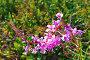 Соцветие иван-чая (Epilobium angustifolium), фото № 24865448, снято 3 июля 2015 г. (c) Зобков Георгий / Фотобанк Лори