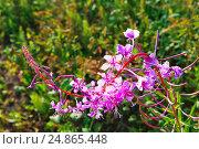 Купить «Соцветие иван-чая (Epilobium angustifolium)», фото № 24865448, снято 3 июля 2015 г. (c) Зобков Георгий / Фотобанк Лори