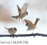 Купить «Смешные маленькие птицы порхают и садятся на ветку», фото № 24870736, снято 2 января 2017 г. (c) Бачкова Наталья / Фотобанк Лори