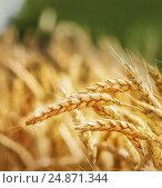 Купить «Пшеничный колоски на поле», фото № 24871344, снято 1 июля 2015 г. (c) Игорь Струков / Фотобанк Лори