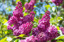 Цветущая Ветка сирени, фото № 24871400, снято 17 мая 2015 г. (c) Мурина Ольга / Фотобанк Лори