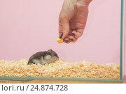 Купить «Девушка кормит хомяка сыром, крупный план», фото № 24874728, снято 15 января 2017 г. (c) Иванов Алексей / Фотобанк Лори