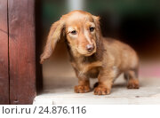 Купить «Beautiful dachshund puppy dog with sad eyes portrait», фото № 24876116, снято 27 августа 2015 г. (c) Екатерина Куракина / Фотобанк Лори