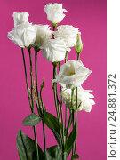 Купить «Букет эустомы белой на розовом фоне», фото № 24881372, снято 13 января 2017 г. (c) V.Ivantsov / Фотобанк Лори