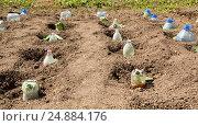Купить «Саженцы на грядке, накрытые пластиковыми бутылками», фото № 24884176, снято 2 июня 2013 г. (c) Евгений Ткачёв / Фотобанк Лори