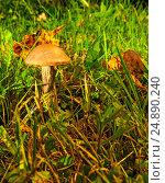 Mushroom. Стоковое фото, фотограф М / Фотобанк Лори